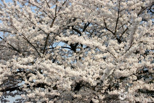 Cherry Blossom Festival in Seoul